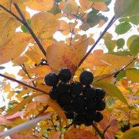 Черная рябина на золотых листьях :: Аlexandr Guru-Zhurzh