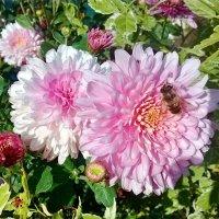 Последние, осенние цветы... :: Чария Зоя