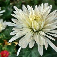 В нашем дворе царствуют хризантемы :: Нина Корешкова