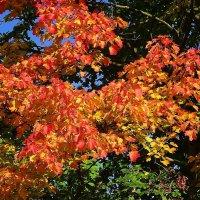 Осенний клён :: Маргарита Батырева