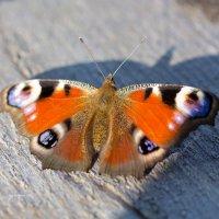 Бабочка павлиний глаз :: Александр Синдерёв