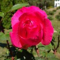 Осенняя роза :: татьяна
