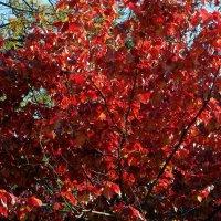 Осенний пурпур :: Владимир Бровко