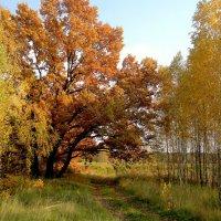 осенний дуб в компании берёзок :: Александр Прокудин