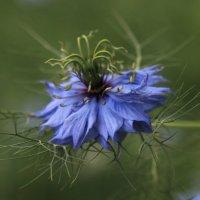 Синенький цветочек :: Татьяна Панчешная