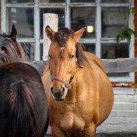 Вятская порода лошадей :: Кристина Щукина