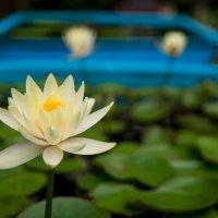 Цветок с острова Jeju :: Дмитрий