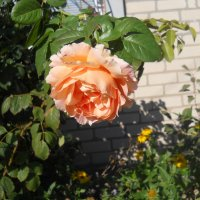 Роза в октябре :: Галина