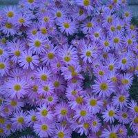 Осенние цветы :: Елена Иванкина