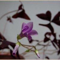 Комнатые  цветы :: OLLES
