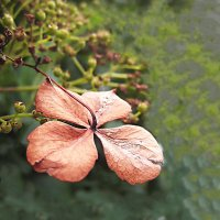 Осенний цветок гортензии :: spm62 Baiakhcheva Svetlana