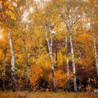 Осенняя березовая роща :: Дмитрий Чернов