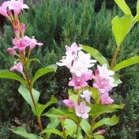 Позднее цветение-Вейгела в октябре... :: Тамара (st.tamara)