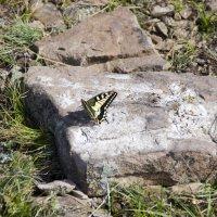 Бабочка :: Виктория Большагина