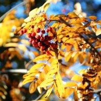 """""""Сквозь ветви и гроздья рябины на тихое небо гляжу.."""" :: Инна Малявина"""