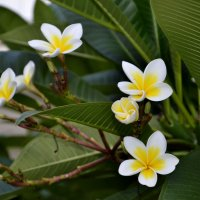 Цветы франжипани :: Наталья И