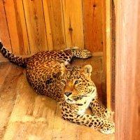 Леопард :: Ольга Зубова