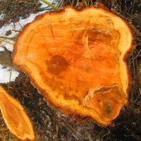Пень от спиленного дерева :: Татьяна Королёва