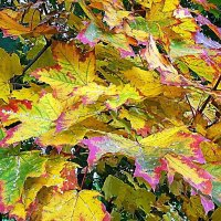 Разноцветье кленовых листьев :: Маргарита Батырева