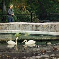 Кормление лебедей :: Александр Смольников