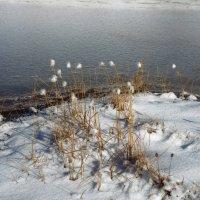 пушица в снегу :: Elena Wymann
