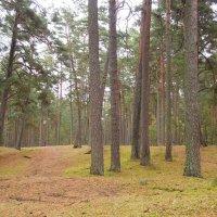 сосновый лес :: Анна Воробьева