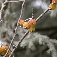 Снежные яблочки :: Валерий Скобкарёв