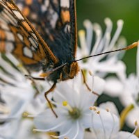 Бабочка на белом цветке. :: Юрий Харченко