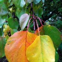 Осенние листья абрикосы :: Татьяна Королёва