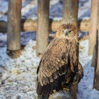 Могильник (императорский орел). :: олег