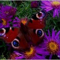 бабочка собирающая нектар :: Андрей