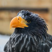 Белоплечий орлан :: олег