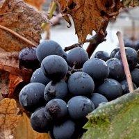 Поздний виноград :: Владимир