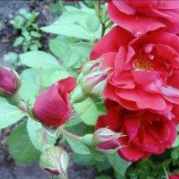Розы :: Надежда Буденная