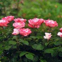 первоцвет майский-роза :: Александр Stepanov