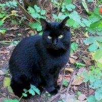 Чёрный кот от усов до хвоста... :: Самохвалова Зинаида