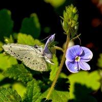 голубые цветки :: Александр Прокудин