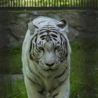 Белый тигр :: Дима Пискунов