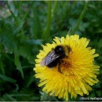 Пчела и одуванчик :: Андрей