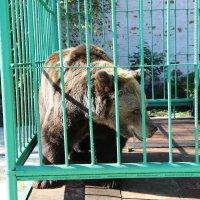 Символ Ярославля медведица Маша :: Sergey Prussakov
