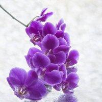 Цветущая ветка орхидеи на мокром стекле :: Ирина Приходько