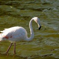 Фламинго :: Олег Шендерюк