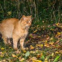 Просто кот :: Ирина Никифорова