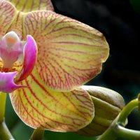 Орхидея :: Lanna