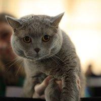 Астана .Выставка кошек :: Sergey