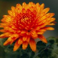 Осенний цветок :: Игорь Касьяненко