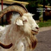 О козлах... :: Анатолий Мартынюк