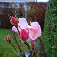 Отважная нежность...ноябрь... :: Galina Dzubina