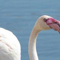 Фламинго :: Sergey (Apg)
