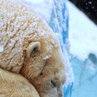 Белый медведь в Новосибирском зоопарке :: Владимир Шадрин